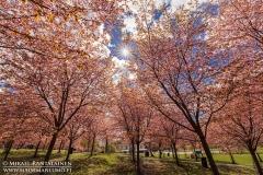 Kirsikkapuu kukkii, Roihuvuoren kirsikkapuisto, Helsinki (HE135)
